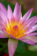 PInk Lotus on the River, Close-up