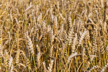 Closeup of a Dutch organic cornfield with nearly ripe wheat
