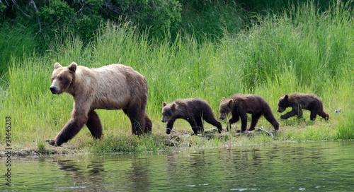 Plexiglas Dragen Female Alaskan brown bear with cubs