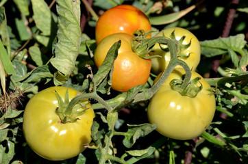 Cultivo de tomates ecolgicos