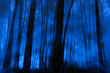 Blue foggy pine woods