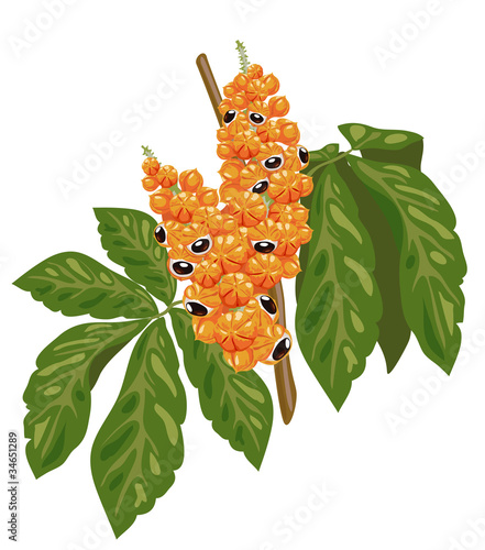 Guarana branch with fruit and leaves.