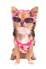 Chihuahua puppy wearing pink sun glasses and t-shirt