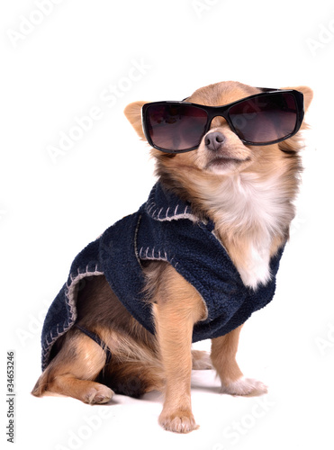 Serious chihuahua dog wearing jacket and black sunglasses