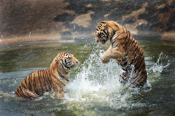tigers play in the water