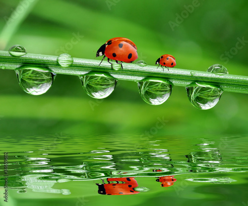 Fototapety, obrazy : fresh morning dew and ladybird