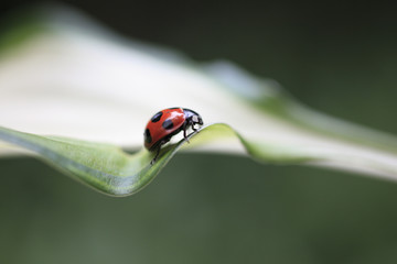ギボウシの葉とてんとう虫