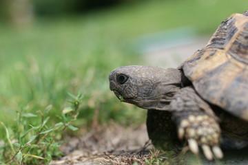 Żółw stepowy na trawie
