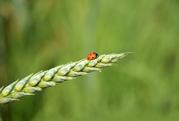 Ladybug on the ear