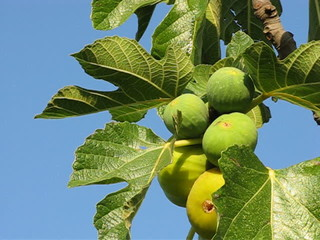 Fichi sull'albero - Figs on the tree
