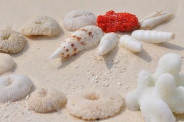Rote Koralle im weißen Muschelkreis