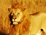 Lion on the Masai Mara in Southwestern Kenya poster