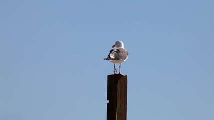 Seagull - standing on post