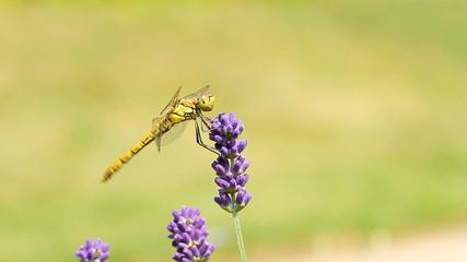 dragonfly on lavender