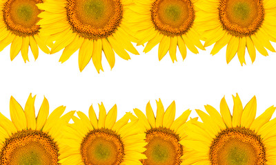 Sunflowers isolated on white background.