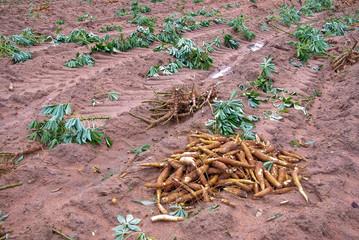 Cassava bulb on the ground