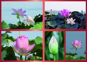 fiore di lotto