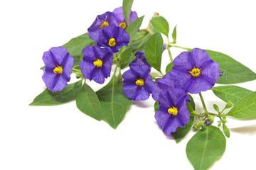 Solanum, fiore viola