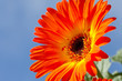 Close Up of Vibrant Orange Gerber Daisy Against Blue Sky