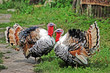 Two male turkey cock on village courtyard