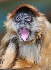 rare blue eyed spider monkey yawning, chagres national park, col