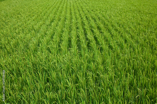 farm[paddy_field]_05