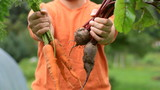 Bunch of carrots and beets in a male hands, outdoors