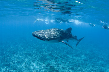 moldives whale shark snorkeling tour