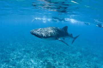 moldives whale shark snorkeling tour