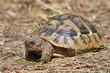 Hermann's Tortoise (immature)