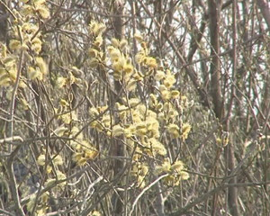 Sign of spring. Pussy-willow blooms.