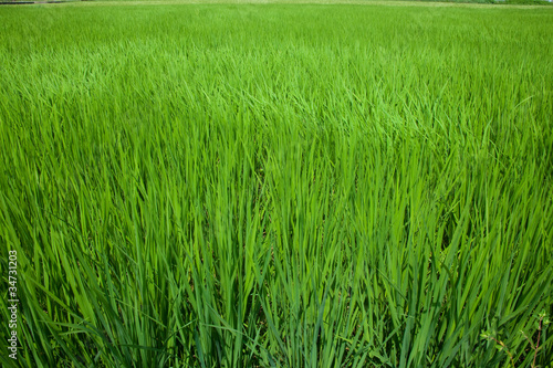 farm[paddy_field]_12