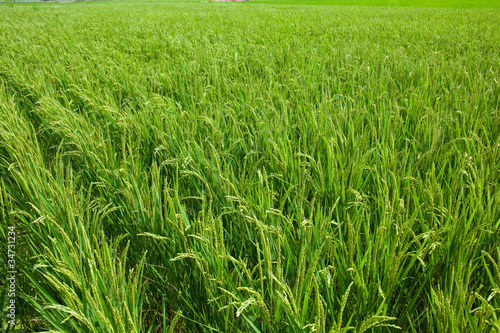 farm[paddy_field]_13