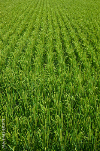 farm[paddy_field]_31