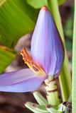musa, bananier fleur poster