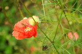 Wasp Pollinating Poppy Flower poster