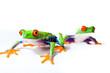 Red Eyed Tree Frog Pair