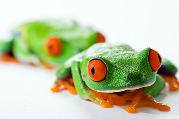 Red Eyed Tree Frog following leader