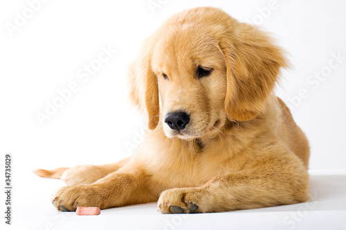 Golden Retriever Puppy staring at dog treat