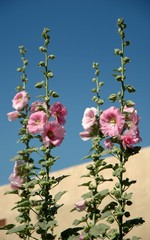Pink hollyhocks in an adobe walled garden