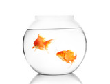 Fototapety Pair of gold fish in the water bowl