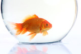 Gold fish in the bowel. Isolation on the white poster