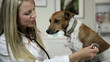 Pretty Vet Listening to Jack-Rat Terrier Dog's Lungs