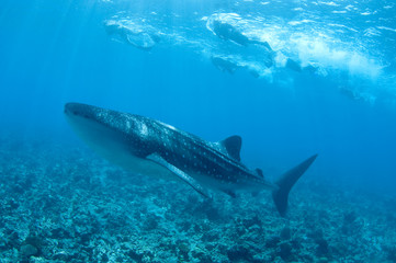 whale shark maldive Islands