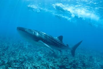 whale shark maldive Islands