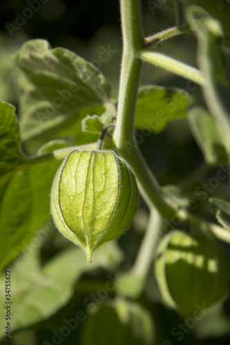 Physalis am Strauch