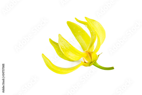 Ylang-Ylang flower on isolate background.