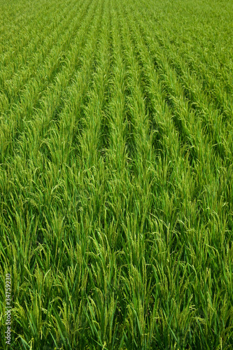 farm[paddy_field]_38