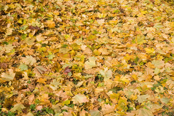 A carpet of autumn maple leaves