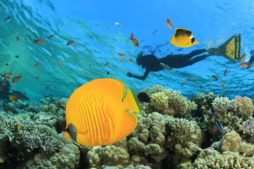 Masked Butterflyfish on coral reef with snorkeler